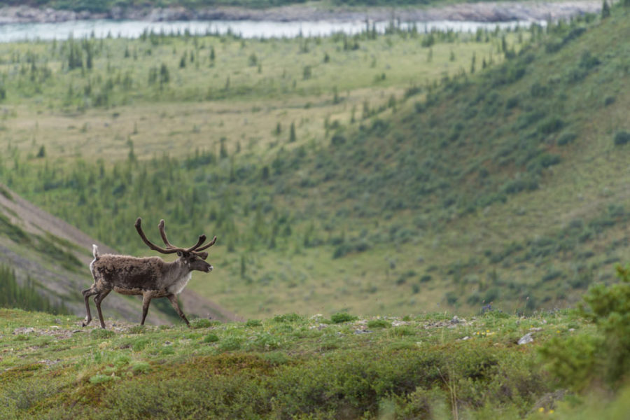 Viewing Caribou, Firth River Rafting, Ivvavik National Park, Yukon Territory.