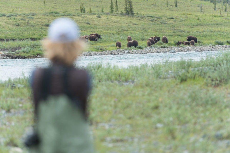 Viewing Muskox, Firth River Rafting, Ivvavik National Park, Yukon Territory.