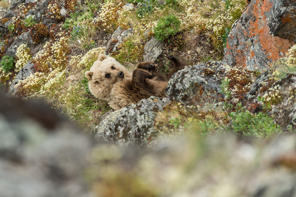 Grizzly bear, Firth River Rafting, Ivvavik National Park, Yukon Territory.