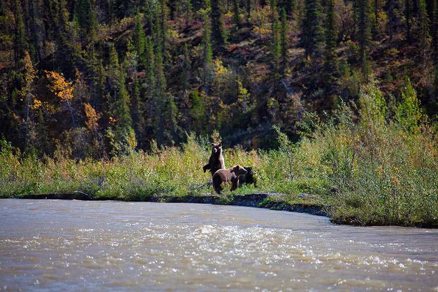 Bears on the shore of the Mountain River in Canada's Northwest Territories.