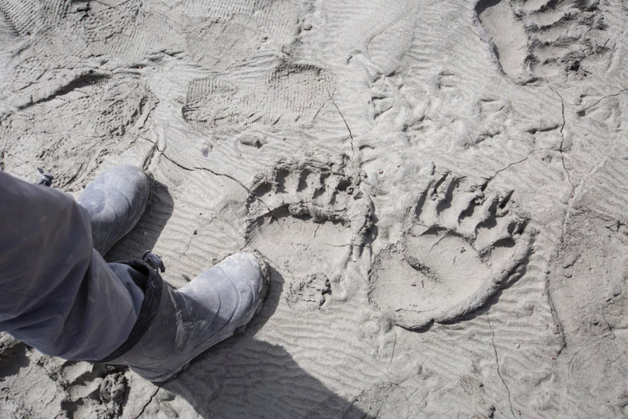 Bear prints on the shore of the Tatshenshini River. The Tatshenshini river valley is home to large populations of grizzlies, bald eagles, moose, wolves and other animals.