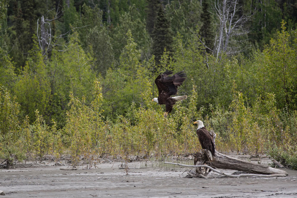 A pair of eagles on the shore of the Tatshenshini River, which is home to large populations of grizzlies, bald eagles, moose, wolves and other animals.