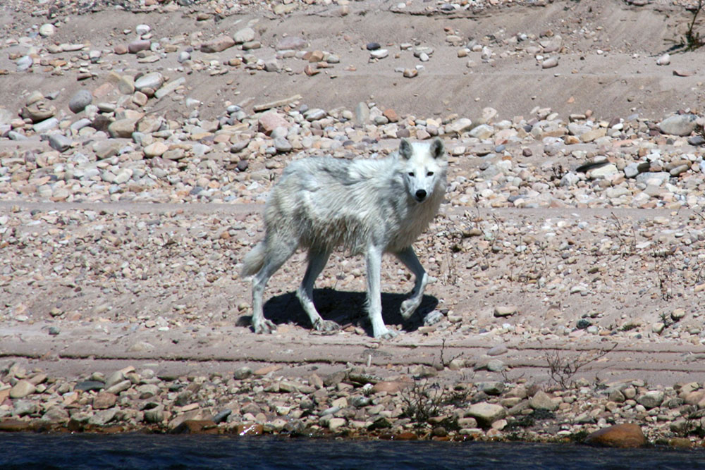 Wolf, Thelon River in Canada's Northwest Territories.