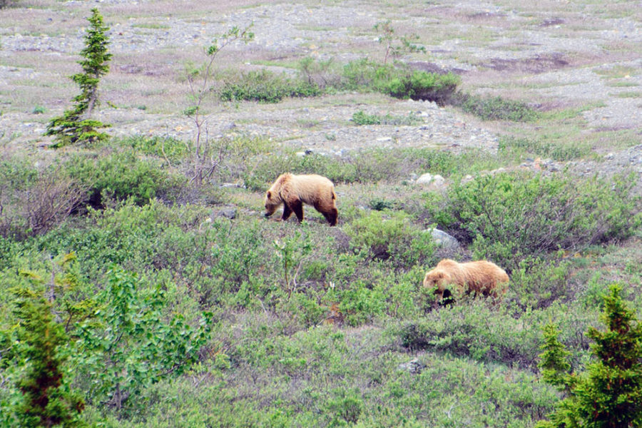 Two bears spotted on our Alsek River Rafting Expedition.