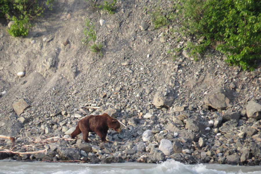 A bear on the shore of the Alsek River, photographed from a raft on our Alsek River Rafting Expedition.