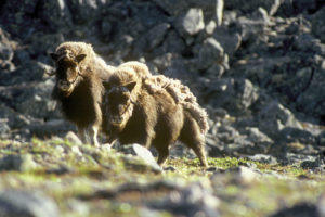 Muskox: Cute, Cuddly and Powerful