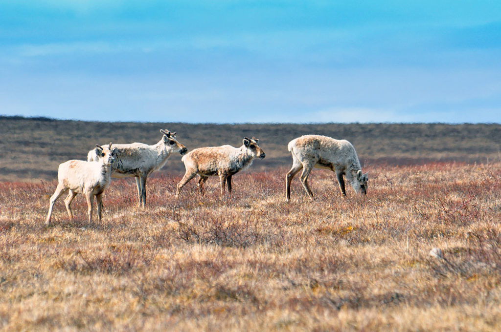 Caribou on the Thelon River.