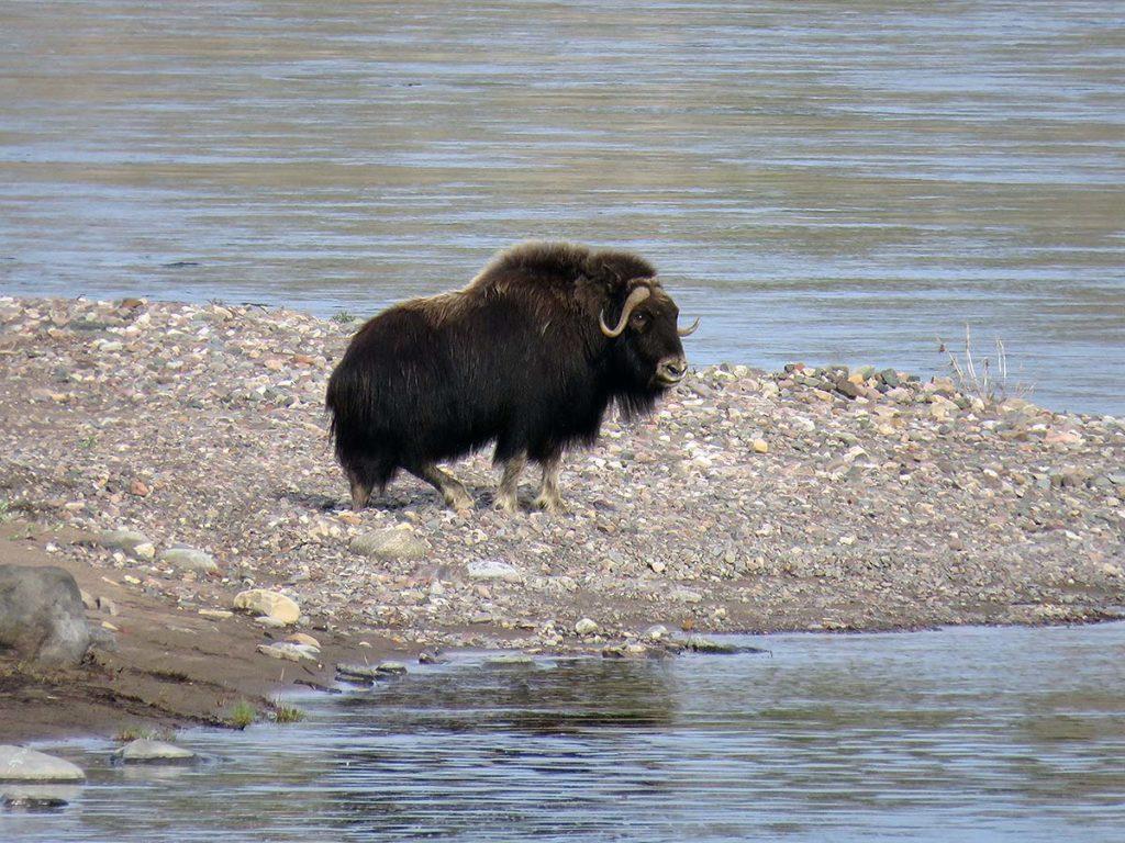 Muskoxen on the Coppermine River