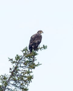 Golden Eagle on the Firth