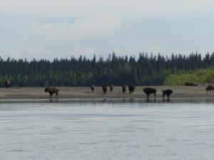 Bison by Broken Skull River
